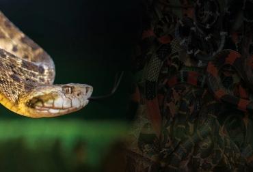 Ganadería, ganadería colombia, noticias ganaderas, noticias ganaderas colombia, CONtexto ganadero, accidentes ofídicos en ganadería, mordedura de serpientes, mordedura de serpientes al ganado, qué hacer cuando una serpiente muerde al ganado, suero ofídico, suero ofídico ganadería, accidentes ofídicos con ganaderos