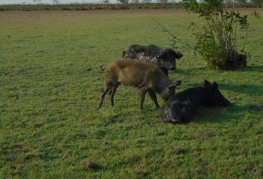 Ganadería, ganadería colombia, noticias ganaderas, noticias ganaderas colombia, CONtexto ganadero, cerdo criollo, cerdo criollo de los llanos orientales, ventajas del cerdo criollo, origen del cerdo criollo, cerdo sabanero, arcesio salamanca