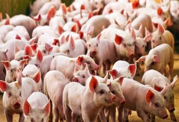 Ganadería, ganadería colombia, noticias ganaderas, noticias ganaderas colombia, CONtexto ganadero, bioseguridad, bioseguridad porcina, porkcolombia, bioseguridad porkcolombia, porcinos, Programa de bioseguridad ha vinculado 177 granjas porcinas, Circovirus Porcino, PCV, Síndrome Respiratorio y Reproductivo, Prrs, Influenza Porcina, SIV, Diarrea Viral Epidémica, PED, producción porcícola, Genética, nutrición, programas de manejo zootécnico, Bienestar Animal