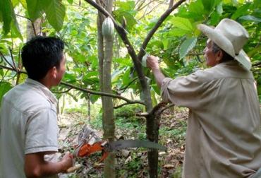 Cultivo de cacao Colombia