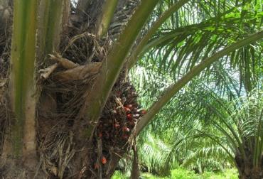 cultivo palma de aceite Colombia