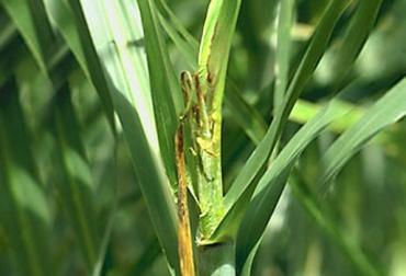 Cogollo retorcido no afectan los cultivos
