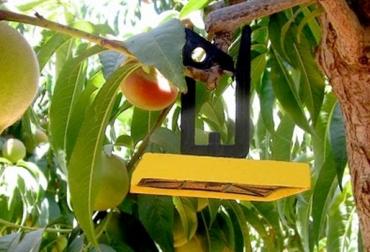 Erradicar moscas de las frutas