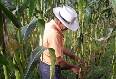 Producción de maíz Colombia