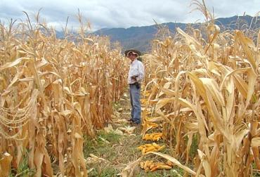 maíz modificado genéticamente