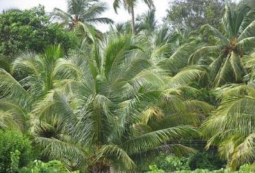 Producción palma de aceite