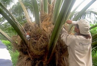 Cultivo de palma de aceite Colombia