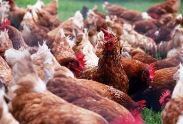 Pastoreo de gallinas