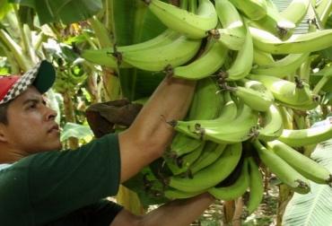 Productores de plátano en Quindío se aseguran