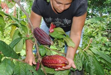Cultivo de cacao en Colombia