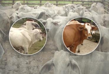 subasta de ganado Colombia