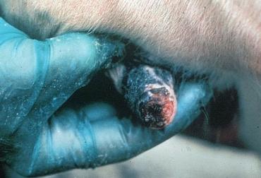 estomatitis vesicular en Boyacá