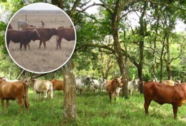 fotosensibilización en ganado
