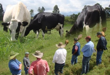 pasto estrella ganadería