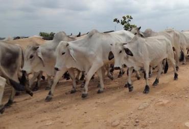 contrabando de ganado