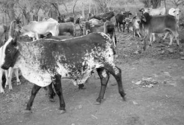Ganaderos afectados por el fenómeno de El Niño, afectaciones colombia fenómeno de El Niño 2016, Sequía en Colombia, estrategias enfrentar la sequía, crisis por el verano en Colombia, escasez de agua y alimento bovino en 2016, CONtexto ganadero, ganaderos colombia