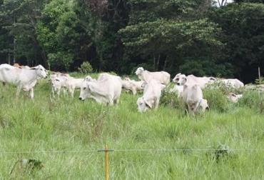 dieta bovinos trópico bajo Colombia