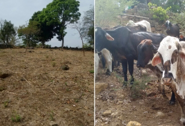 Ganaderos de Santander afectados por el verano, Ganaderos de Santander  solictan ayuda al gobierno departamental, escasez de agua y comida para el ganado en Santander