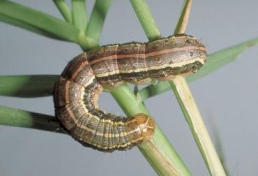 Brote de gusano trozador, gusano Spodopteraafecta, afectaciones en pasto, zonas de influencia del Socorro, Ganaderos de Santander, CONtexto ganadero