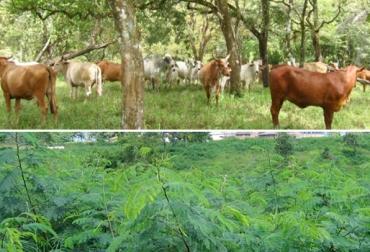 ganaderos de Casanare, sistemas silvopastoriles, Corporinoquia, ganaderos de Yopal, ganaderos de Aguazul, ganaderos de Tauramena, reconversión ganadera, CONtexto ganadero