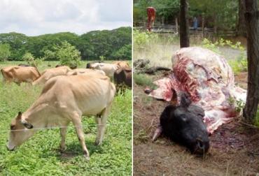 Abigeato en Huila, carneo en Huila, robo de animales en Huila, sacrificio ilegal en Huila, falta de control de las autoridades, preocupación en sector ganadero de Huila, comité de ganadero del Huila, CONtexto ganadero