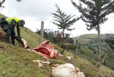 Abigeato en Norte de Santander, sacrificio ilegal en Norte de Santander, carne en Norte de Santander, ganaderos de Norte de Santander preocupados, CONtexto ganadero