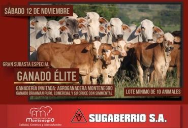 subasta de ganado élite en Puerto Berrío, subasta de Sugaberrío, ganaderos de  Puerto Berrío, ganaderos de Antioquia, CONtexto ganadero