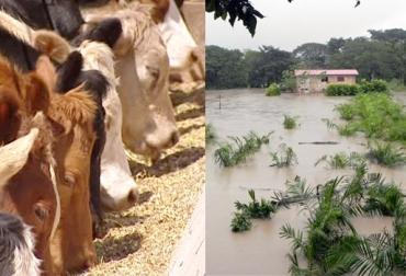 Ganaderos de Bosconia, ganaderos solicitan ayudas al Gobierno, pequeños ganaderos, escasez de agua, escasez de alimentos, CONtexto ganadero
