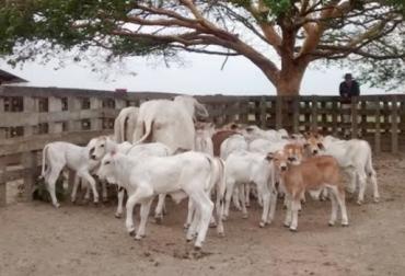 contrabando de ganado desde Venezuela, contrabando de terneros desde Venezuela, contrabando de ganado en Arauca, venta de chapetas del ICA en Arauca, ganaderos de Arauca, ICA seccional Arauca, CONtexto ganadero
