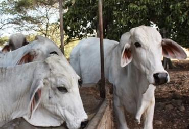 Ganadería Guajira verano marzo 2017, falta de ayudas Gobierno Ganadería Guajira marzo 2017, afectaciones verano ganadería Guajira 2017, inventario bovino La Guajira, suplementos bovinos ganadería Guajira, inventario bovino Guajira Fedegán, inventario bovino Guajira noticias, trashumancia en La Guajira, CONtexto ganadero, ganaderos Colombia