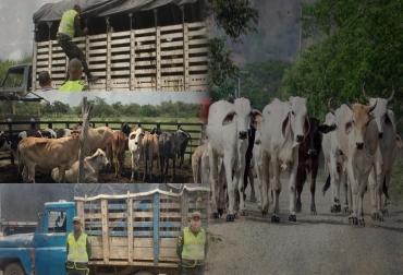 Abigeato en Colombia, robo de ganado en Colombia, carneo en Colombia, ganaderos de colombia, falta de judicialización, miedo a denunciar, CONtexto ganadero