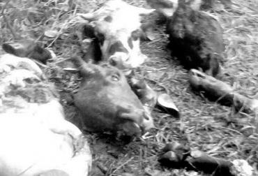 abigeato, abigeato cundinamarca, abigeato granada, granada cundinamarca, hurto a fincas, inseguridad, ganadería colombia, contexto ganadero