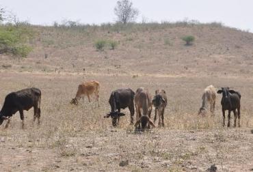 Sequía y escasez de comida en el Cesar, bovinos se mueren de hambre en Codazzi, ganaderos expresas difícil situación, precios y producción deprimidos, CONtexto Ganadero, noticias de ganadería colombiana.