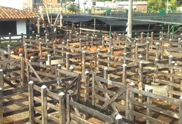 A subasta de Caucasia no llegaron mil bovinos, paro armado del ELN, transportadores se negaron a movilizar reses, camineros en caravana, CONtexto Ganadero, noticias de ganadería colombiana.