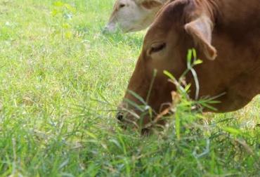 Ganancia compensatoria del ganado, finaliza el verano y comienza el invierno, pastos son más nutritivos, ganado ganar hasta un kilo diario, ganado crece rápidamente, CONtexto Ganadero, noticias de ganadería colombiana.