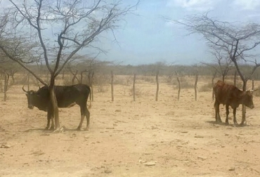 Ganaderos La Guajira abril 2018, ganaderos La Guajira verano abril 2018, falta de ayudas Gobierno Ganadería Guajira abril 2018, afectaciones verano ganadería Guajira 2018, suplementos bovinos ganadería Guajira, Proyectos ganaderos La Guajira, Asociación de Ganaderos de La Guajira, Asogagua, proyecto repoblamiento bovino La Guajira, CONtexto ganadero, ganaderos colombia, noticias ganaderas colombia