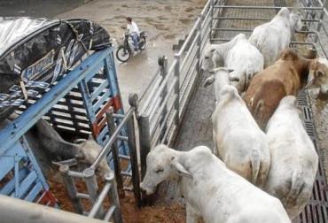Contrabando de ganado, desventaja de empresas, trochas de la frontera, grupos organizados, contactos en Colombia, ganado limpio, cachilapeo, precios bajos, CONtexto Ganadero, noticias de ganadería colombiana.