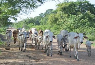 Precios de leche en César, estáticos, no suben hace un año, precio afecta la economía, reducción de inventario, productores de leche, fuertes impactos climáticos, CONtexto Ganadero, noticias de ganadería colombiana.