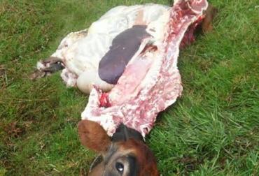 Carneo en Cundinamarca, Zipaquirá, provincia de Sumapaz, Chocontá, recurrente, robo de carne, sacrificio ilegal, CONtexto Ganadero, noticias de ganaderías colombiana.