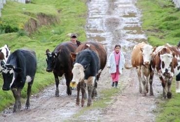 Reducción de producción de leche en Sumapaz, zona de 10 municipios, partes altas las más afectadas, vacas afectadas, vacas estresadas, animales no duermen, bovinos desbalanceados, invierno impacta más que el verano, zonas bajas hay sobreproducción, reducción de precios, CONtexto Ganadero, noticias de ganadería colombiana.