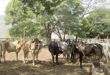 Matan y carnean bovinos en la Guajira, castigo al carneo, penalización del delito, compromisos en Comités de Seguridad, fuerza pública no cumple, CONtexto ganadero, noticias de ganadería colombiana.