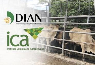 Ganado de contrabando, ICA y Dian, responsabilidades, demoras, sacrificio, incineración, eficiencia administrativa, diseminar riesgo de virus, CONtexto Ganadero, noticias de ganadería colombiana.