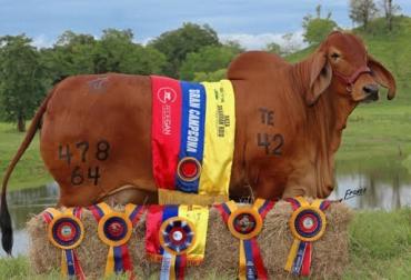 Vaca colombiana es la mejor de Sudamérica, madre sobresaliente, donadora, campeona, CONtexto Ganadero, noticias de ganadería colombiana.