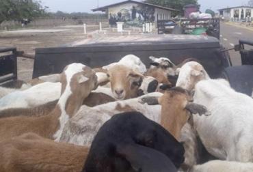 Corderos Colombia, contrabando corderos Colombia, comercio de ovinos, producción ovinos Colombia, Instituto Colombiano Agropecuario ICA, Ministro de Agricultura Aurelio Iragorri Valencia, contrabando de ovinos en Colombia, Asoovinos, CONtexto ganadero, ganaderos colombia, noticias ganaderas colombia