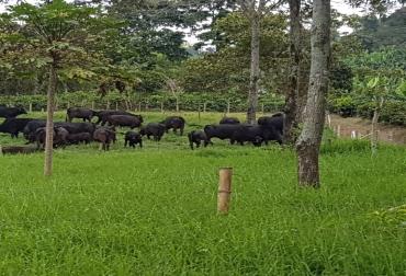 Producción de hembras Brangus pre ceba, mejoramiento genético, biotecnologías, flujo de caja mensual, organización, administración y comida, pastos tifton 85, leguminosas, CONtexto Ganadero, noticias de ganadería colombiana.