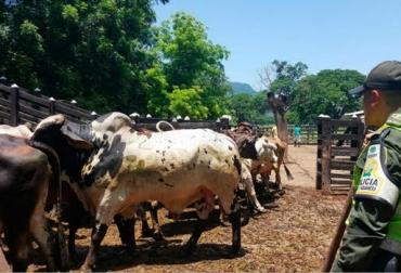 Banda Los Arrieros, contrabando de ganado bovino, funcionarios del ICA y ganaderos, ganado entraba por La Guajira, indígenas wayú, Polfa, Contexto Ganadero, noticias de ganadería colombiana.