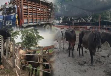 Contrabando de ganado bovino, fiebre aftosa, frontera con Venezuela, ganado desteto, novillas de levante, Arauca, Meta, frontera con la Guajira, río Meta, ganado libre de marca, cachilapean, modifican hierros, Polfa, CONtexto Ganadero, noticias de ganadería colombiana.