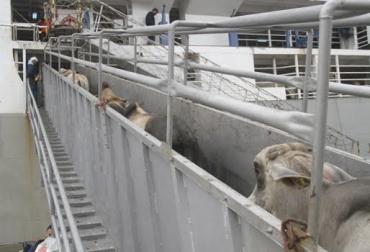 Embarcan ganado en pie de pre ceba y ceba, Oriente Medio, no compran bovino gordo terminado, llevan dos terneros, compra de ganado pequeño, cebadores, precio de terminado es igual al del ternero, CONtexto Ganadero, noticias de ganadería colombiana.