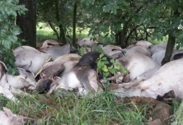 Por aftosa fusilan 571 bovinos, San Diego en Cesar, predios vecinos, prevención sanitaria, bovinos de alta genética, autoridades sanitarias, 4 días de fusilamiento, autoridades pagaran precio de subasta, CONtexto Ganadero, noticias de ganadería colombiana.