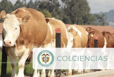 Base genómica Simmental, Agrosavía, Colciencias y Asosimmental, apoyo científico, desarrollo de genética, transparencia científica, Colombia líder, selección, productividad más rápida, CONtexto Ganadero, noticias de ganadería colombiana.